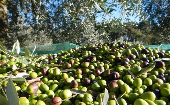 olive-experience-tuscany